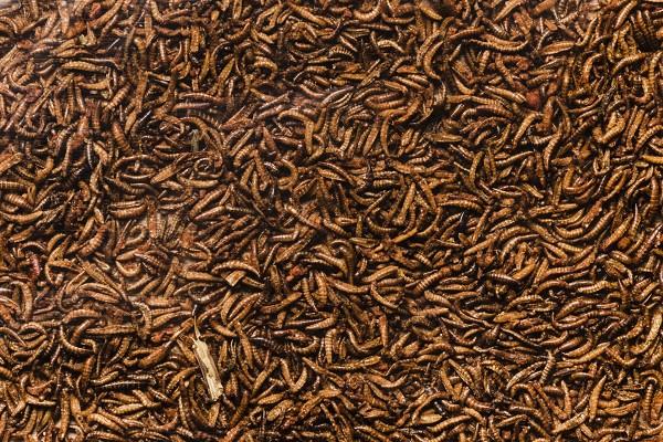 Larven van de zwarte soldatenvlieg kunnen laagwaardig voedsel upgraden naar eiwitrijke biomassa