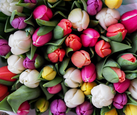 Residual flow tulip growing proves interesting for the cosmetics sector